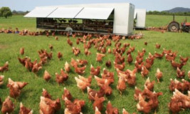 Выращивание кур на продажу