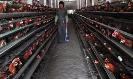 Свой бизнес: как открыть птицеферму. Бизнес-план птицефермы: оборудование и расчет рентабельности