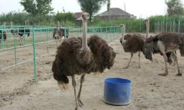 Бизнес на страусах: разведение страусов в домашних условиях. Сколько стоит страус в России?